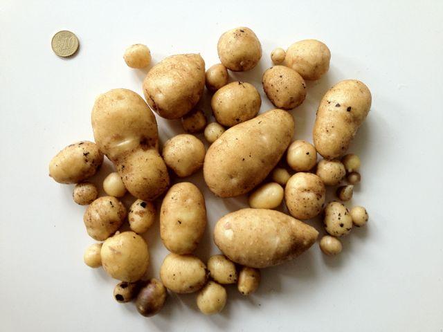Kartoffelernte 2012